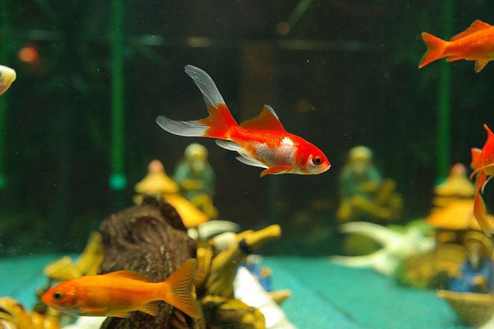 Czym karmić rybki akwariowe?