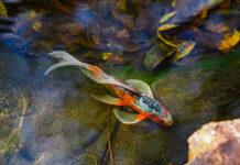 Choroby ryb w oczku wodnym